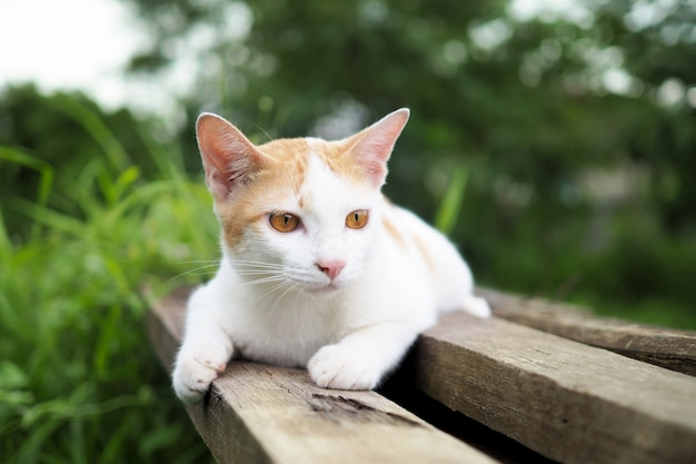 Коричневый и белый кот тайский на старых деревянных в саду