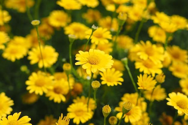 Красивые свежие желтые цветы циннии в саду для фона