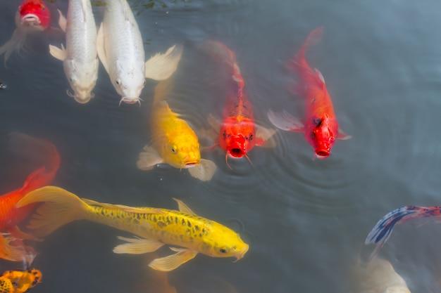 Красивая красочная рыба кои плавает в пруду