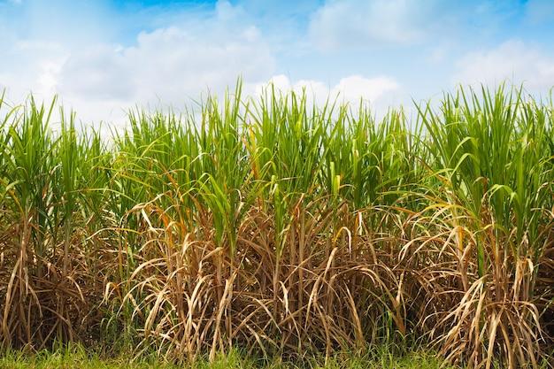 農場での砂糖産業のサトウキビ生産