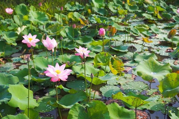 Красивый розовый цветок лотоса с зелеными листьями природы в реке