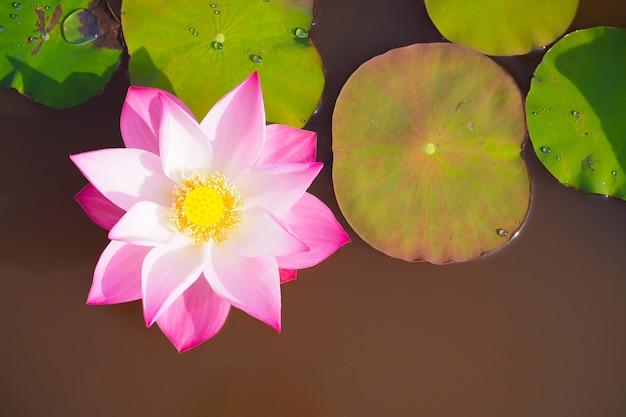 Красивый розовый цветок лотоса с зелеными листьями на фоне природы, вид сверху