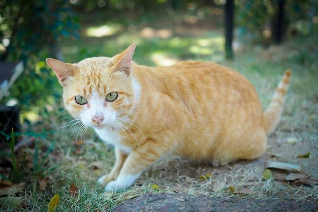 自然風景の中の緑の草に茶色と白猫タイ