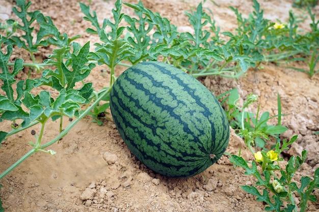 Свежий зеленый арбуз спелых арбузов с зелеными листьями в поле. натуральная еда