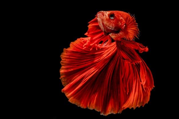 Сиамские боевые рыбы