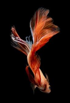 赤とオレンジのシャムの戦いの魚