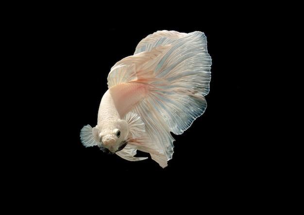 Белые сиамские боевые рыбы выглядят