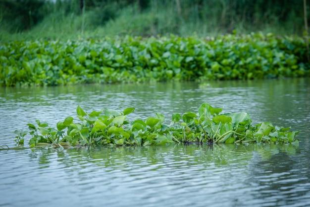 緑の淡水植物のテクスチャ