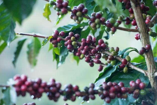 木の上のコーヒー豆。