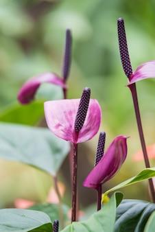 自然の背景に紫のフラミンゴの花や男の子の花。