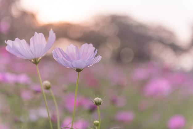 Поле цветков космоса зацветая весной сезон.