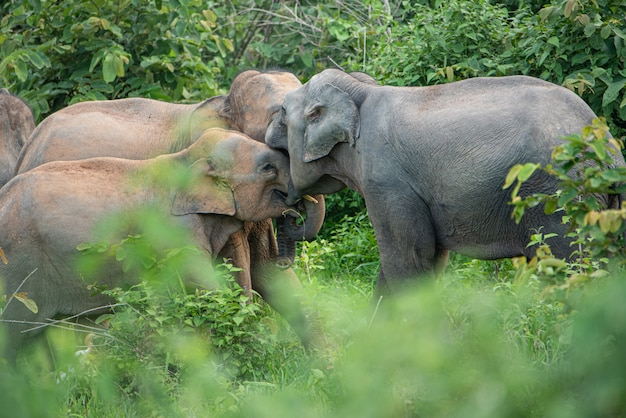 アジアのアジアの野生の象の家族。