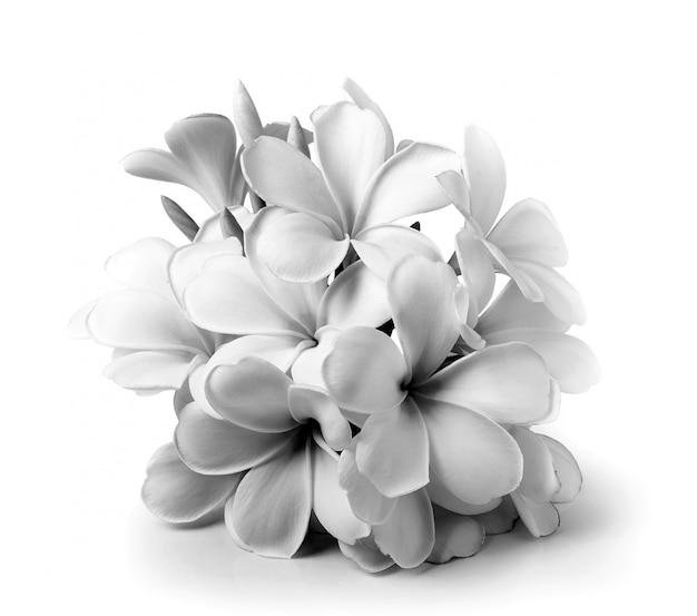 熱帯の花フランジパニ(プルメリア)ホワイトスペースで分離された黒と白