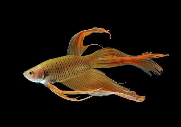 Бетта рыбы на белом фоне