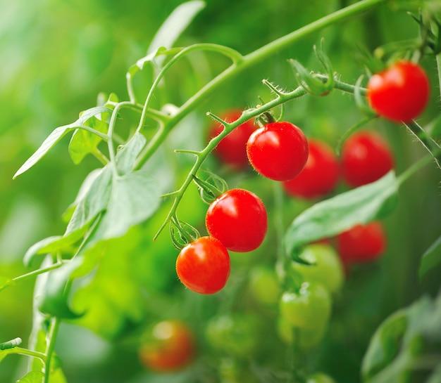 Закройте вверх свежих красных томатов все еще на заводе дерева