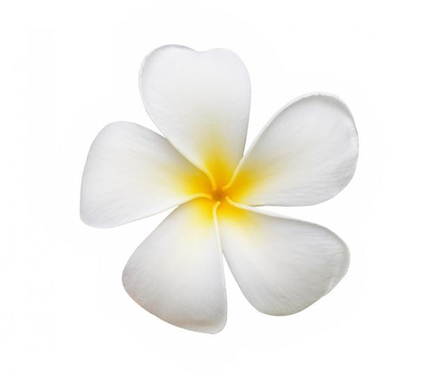フランジパニの花が白いスペースで分離
