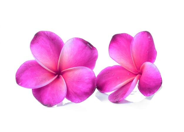 プルメリアの花分離ホワイトバックグラウンド