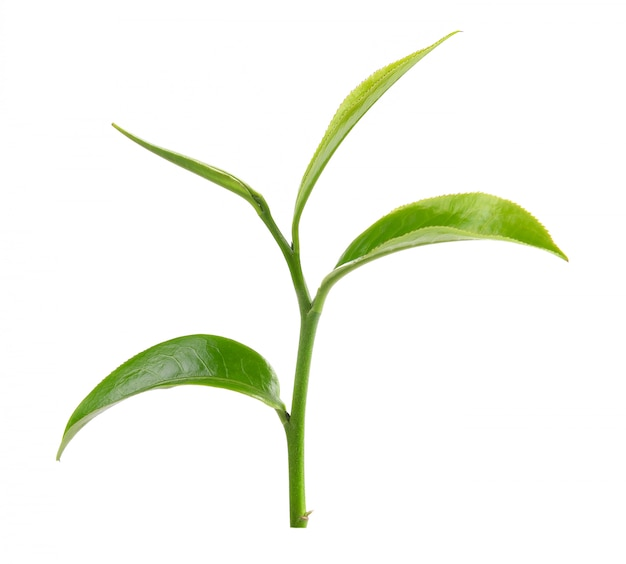 白い壁に緑茶葉
