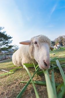ソフトフォーカスと背景をぼかした写真を持つ草を食べる羊のワームアイビュー