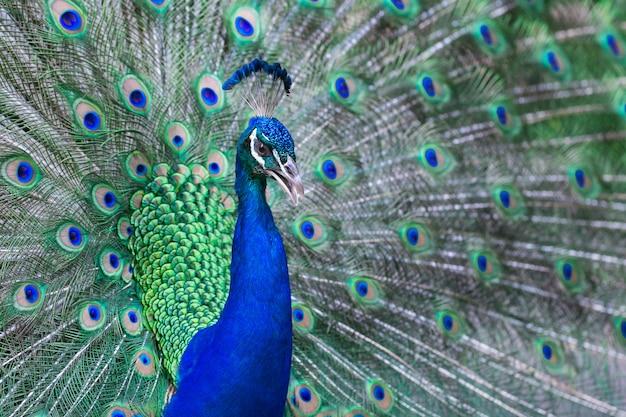 羽を持つ美しい雄孔雀のクローズアップ