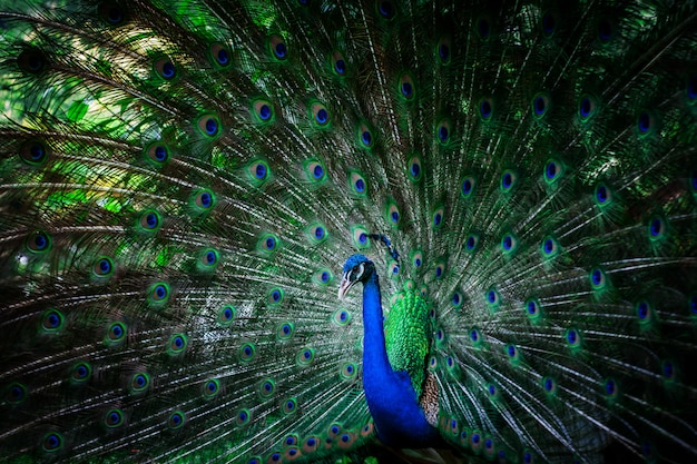 羽を持つ美しい孔雀