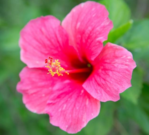 Розовый цветок гибискуса с листьями
