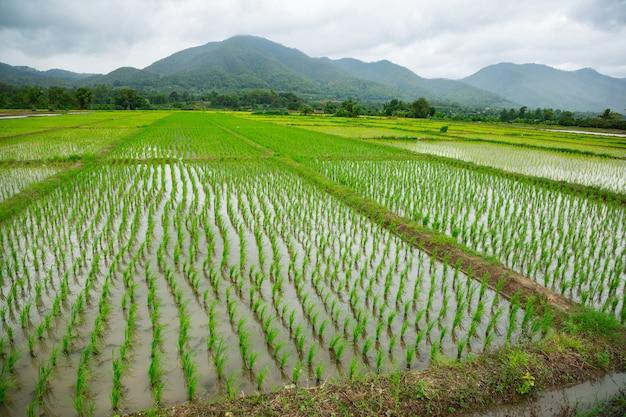 水と稲の緑のフィールド