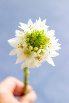 ベツレヘムの星の花のクローズアップビュー