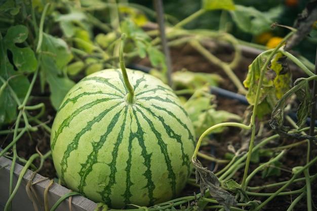 スイカは収穫する準備ができて、有機性庭で成長しています。甘い果物