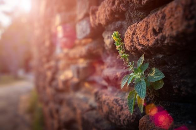 現代の古いタイの寺院で茶色のレンガの壁に成長している草。