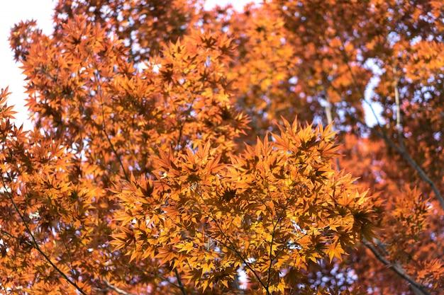 赤いカエデは日本の秋の間に葉します。