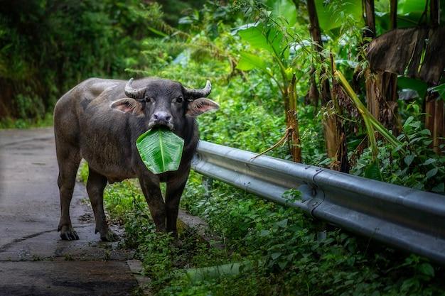 タイのチェンマイの道路脇にバナナを食べるバッファローがいます。