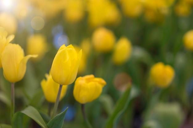 Желтые тюльпаны, растущие на поле