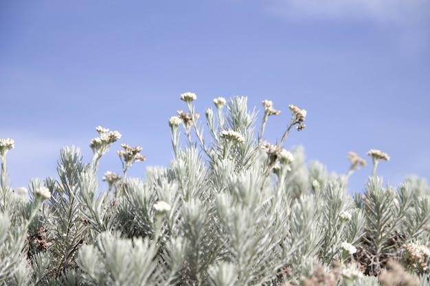 冷たいエーデルワイスの花