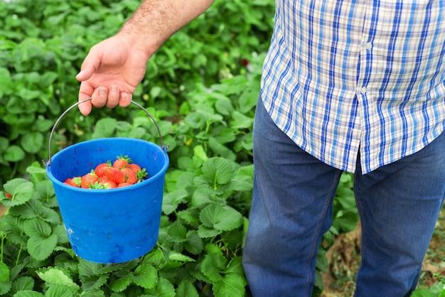 ストロベリーフィールドに青いバケツを持っている農夫