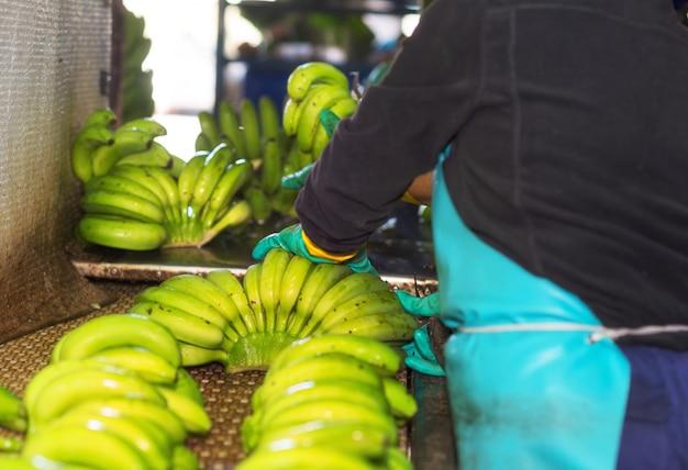 バナナ農場で緑のバナナの枝を切る男のクローズアップ。