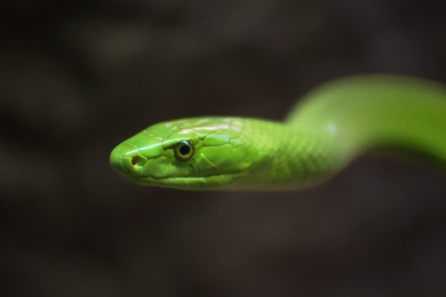 Зеленый мамба крупным планом портрет