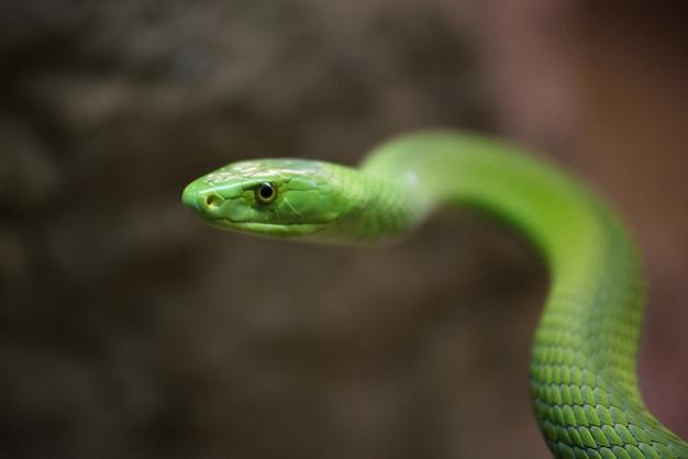危険な緑色のマンバのヘビの眺めを閉じます