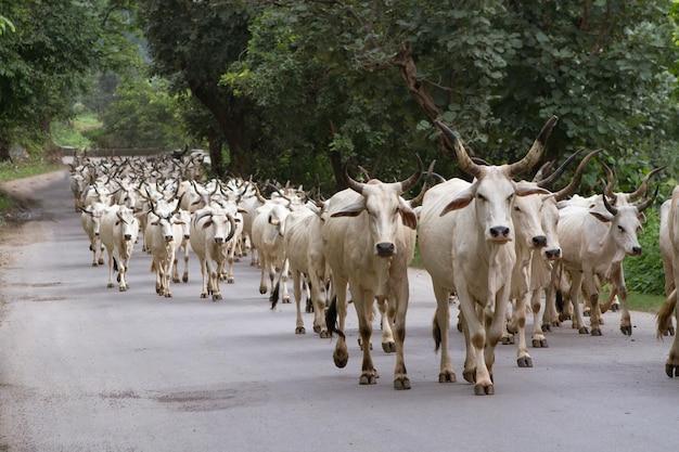 インドの牛の群れ