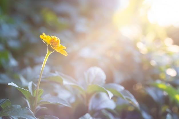 緑の葉の背景と日光のフレアに黄色のシンガポールデイジーを閉じる