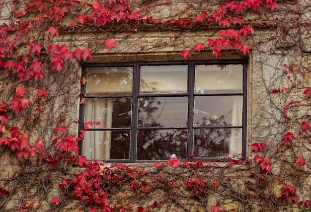 Красочный красный плющ листья лианы восхождение на стену