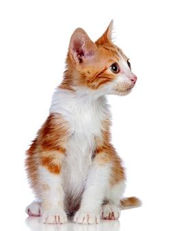 愛らしい小さな猫は、白い背景で隔離されています。