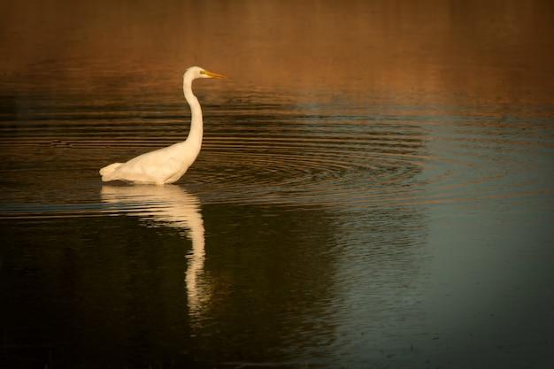 池の真ん中の美しい白鷺