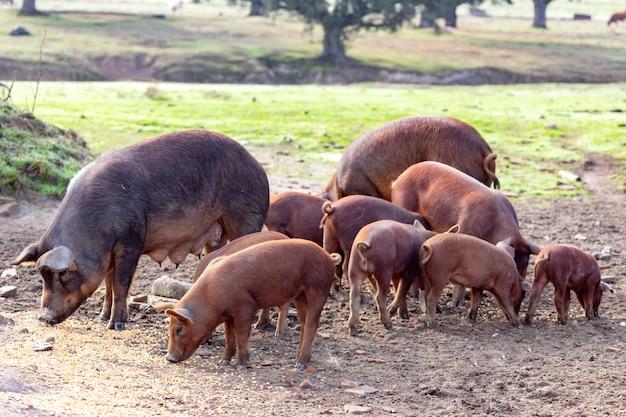 イベリコ豚の農場で放牧