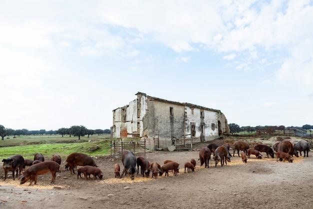 Иберийские свиньи, пасущиеся на ферме