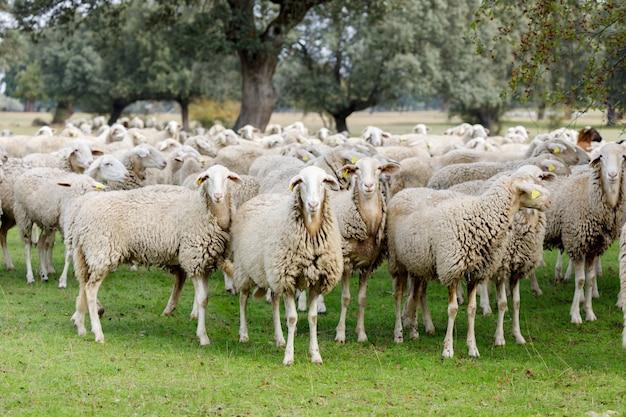 放牧羊の群れ
