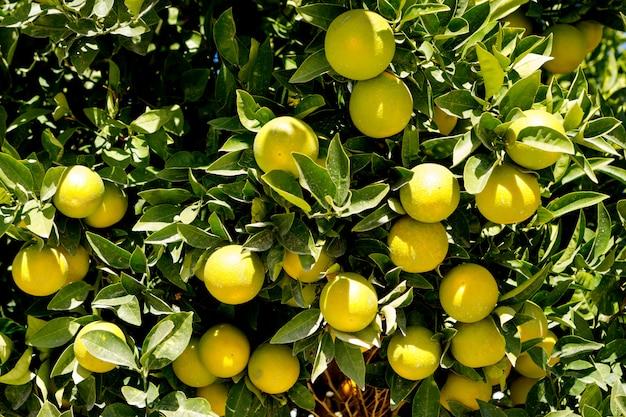 Хорошее дерево с множеством апельсинов