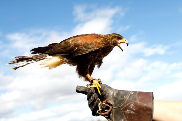 Орел сидел на руке человека.