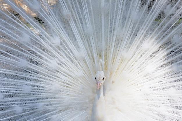 その尾を開いて素晴らしい白孔雀