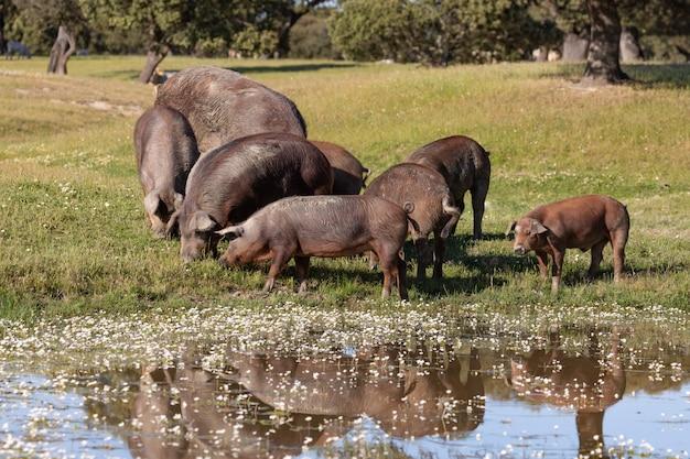 Иберийские свиньи пасутся в сельской местности